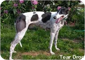 Greyhound Dog for adoption in Canadensis, Pennsylvania - Teardrop
