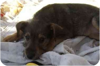 Schnauzer (Miniature)/Jack Russell Terrier Mix Puppy for adoption in Crystal River, Florida - Chrissy