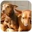 Photo 1 - Miniature Pinscher Dog for adoption in Nashville, Tennessee - Sasha