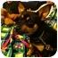 Photo 4 - Chihuahua/Corgi Mix Dog for adoption in Tumwater, Washington - Buster