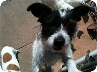 Jack Russell Terrier/Terrier (Unknown Type, Small) Mix Dog for adoption in Houston, Texas - Sissy in Houston
