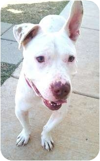 American Pit Bull Terrier Mix Dog for adoption in Meridian, Mississippi - Tucker