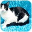 Photo 3 - Domestic Shorthair Cat for adoption in Houston, Texas - Domino
