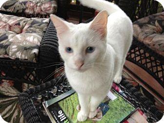 Domestic Shorthair Cat for adoption in Arlington/Ft Worth, Texas - Bunny