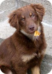 Labrador Retriever/Newfoundland Mix Puppy for adoption in Chicago, Illinois - Addie(ADOPTED!)