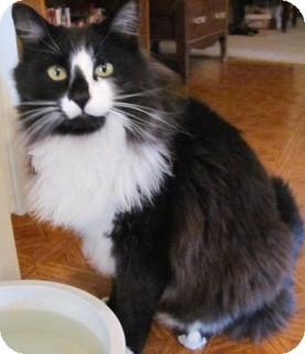 Norwegian Forest Cat Cat for adoption in Scottsdale, Arizona - Felix- courtesy post