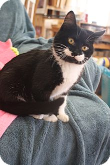 Domestic Shorthair Kitten for adoption in Knoxville, Tennessee - Okeydoke