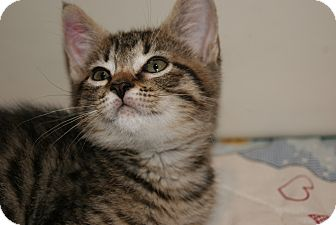 Domestic Shorthair Kitten for adoption in Trevose, Pennsylvania - Denver