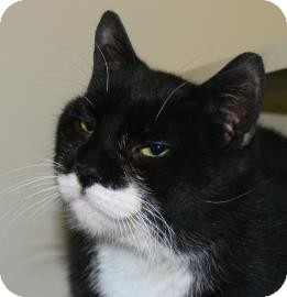 Domestic Shorthair Cat for adoption in Brooklyn, New York - Sneezy