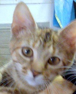 Domestic Mediumhair Kitten for adoption in Madisonville, Louisiana - E.J.