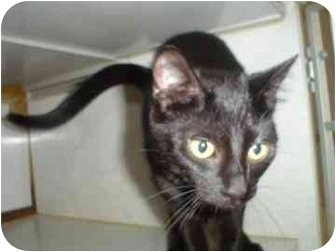 Domestic Mediumhair Kitten for adoption in Walker, Michigan - Amanda