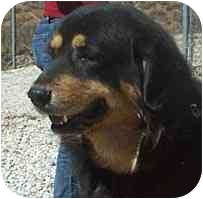Tibetan Mastiff Dog for adoption in Acton, California - Gus