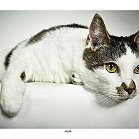Adopt A Pet :: Jules - New York, NY