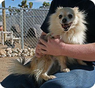 Pomeranian Mix Dog for adoption in Yucca Valley, California - Honey May Gram