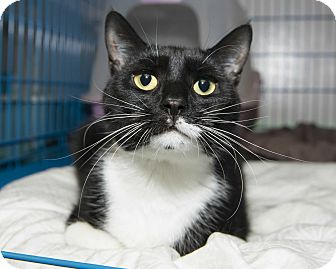 Domestic Shorthair Cat for adoption in New York, New York - Mandy