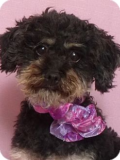 Poodle (Miniature) Mix Dog for adoption in Kerrville, Texas - Princess