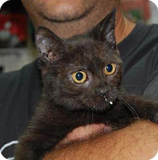 Domestic Shorthair Kitten for adoption in Brooklyn, New York - James