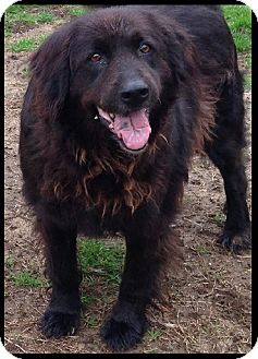 Australian Shepherd/Chow Chow Mix Dog for adoption in Colonial Heights, Virginia - Molly
