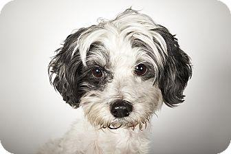 Shih Tzu Mix Dog for adoption in New York, New York - Wesley