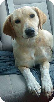 Labrador Retriever Mix Dog for adoption in Memphis, Tennessee - Rosemary