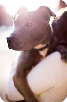 American Pit Bull Terrier Mix Puppy for adoption in Reisterstown, Maryland - Ollie