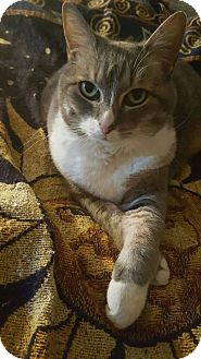 Domestic Shorthair Cat for adoption in Knoxville, Tennessee - Maddee
