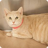 Adopt A Pet :: Guerrita - Dallas, TX