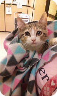 Domestic Shorthair Kitten for adoption in Glen Mills, Pennsylvania - Azaila