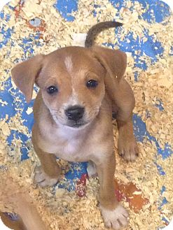 Beagle/Chihuahua Mix Puppy for adoption in Pompton Lakes, New Jersey - LUCY LITTER #2