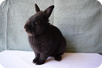 Lionhead Mix for adoption in Fountain Valley, California - Licorice