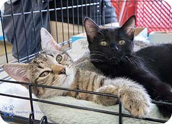 Domestic Shorthair Kitten for adoption in Merrifield, Virginia - Heather