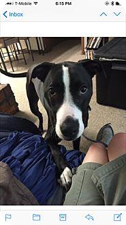 Labrador Retriever Mix Dog for adoption in Strongsville, Ohio - Max