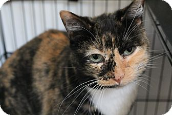 Domestic Shorthair Cat for adoption in Colville, Washington - Sarah Jane