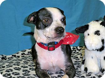 Boston Terrier/Terrier (Unknown Type, Small) Mix Puppy for adoption in Poteau, Oklahoma - BAXTER