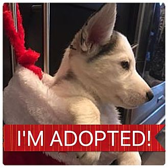 Husky Mix Puppy for adoption in Regina, Saskatchewan - Ornament