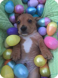 Beagle/Basset Hound Mix Puppy for adoption in Hillsboro, Missouri - Scooter