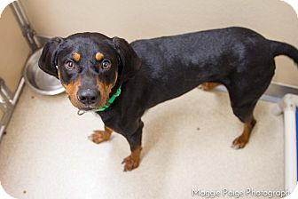 Coonhound Mix Dog for adoption in Naperville, Illinois - Hunter