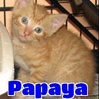 Adopt A Pet :: #4258 Papaya - Lawrenceburg, KY