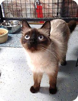 Siamese Cat for adoption in Holland, Michigan - Yoshi