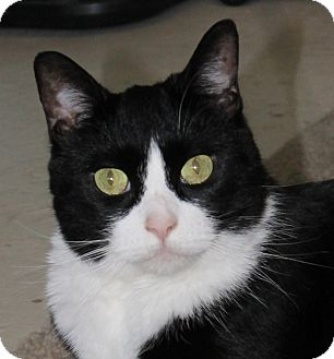 Domestic Shorthair Cat for adoption in North Branford, Connecticut - Aurora