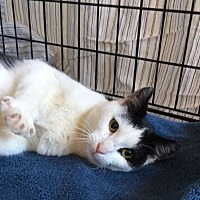 Adopt A Pet :: Maci - Plainville, CT