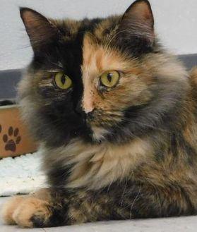 Domestic Mediumhair/Domestic Shorthair Mix Cat for adoption in Owensboro, Kentucky - Monarch