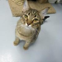 Domestic Shorthair/Domestic Shorthair Mix Cat for adoption in Carroll, Iowa - Mario