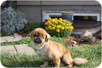 Pekingese Dog for adoption in Virginia Beach, Virginia - Sienna
