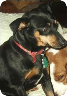 Miniature Pinscher Dog for adoption in Coudersport, Pennsylvania - CHRISSY