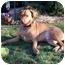 Photo 3 - Labrador Retriever/Vizsla Mix Dog for adoption in Naugatuck, Connecticut - Harley