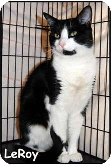 Domestic Shorthair Cat for adoption in Merrifield, Virginia - LeRoy