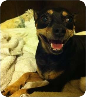 Chihuahua/Miniature Pinscher Mix Dog for adoption in Davie, Florida - Dino