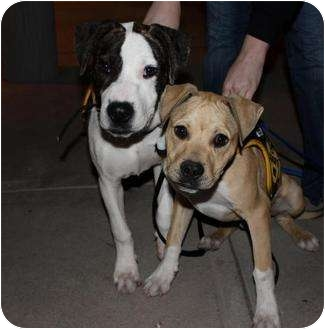 American Pit Bull Terrier Mix Puppy for adoption in Mesa, Arizona - Rondo