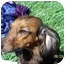 Photo 1 - Dachshund Dog for adoption in Garden Grove, California - BEBE